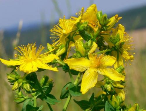 Superplanten: Sint-janskruid